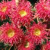Flowers of Eucalyptus ficiolia x Eucalyptus ptychocarpa hybrid.