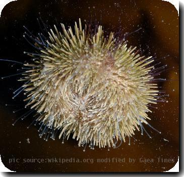 Cropped from :Image:Turning over.JPG. S. droebachiensis turning over