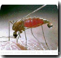 210Chimes malaria