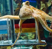 Paul the Oberhausen octopus hedges his bets Paul the Oberhausen octopus hedges his bets